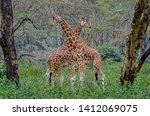 A pair of giraffes confronting each other in forest of Nakuru in Kenya.