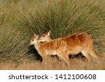 Sitatunga Antelope Near A Swamp