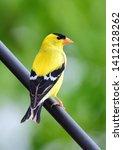 Yellow Male American Goldfinch...