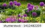 Allium Flowers  Allium...