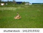 Stock photo hares on schiermonnikoog the netherlands 1412515532