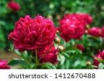 Red Peonies In The Garden....