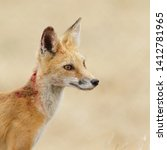 Small photo of An image of an injured red fox contemplating its next move after an altercation with a peregrine falcon.