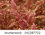 Red and Yellow Variegated Coleus - stock photo