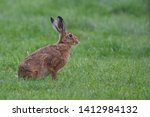 Stock photo hare lepus europaeus a leveret a young hare isolated in field of grass 1412984132