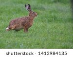 Stock photo european brown hare lepus europaeus an adult brown hare isolated in a field of grass 1412984135