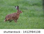 Stock photo european brown hare lepus europaeus an adult brown hare isolated in a field of grass 1412984138