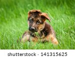 Stock photo german shepherd puppy in the grass 141315625