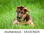 Stock photo german shepherd puppy in the grass 141315625