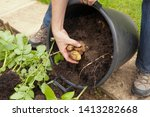 Harvesting Potatoes That Have...