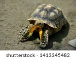 Stock photo gembira loka zoo indonesia april sulcata tortoise african spurred tortoise eat a leaf 1413345482