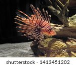 Closeup Red Lionfish Or Pteroi...