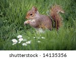 Red Squirrel With Nut In A...