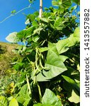 Beautiful Green Beans Plant...
