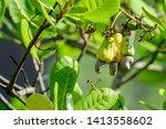 anacardium occidentale  cashew... | Shutterstock . vector #1413558602