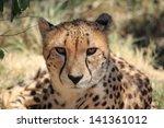 Cheetah Real King Feline...