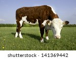A Single Hereford Cow In A...