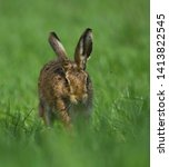 Stock photo european brown hare running towards the camera 1413822545