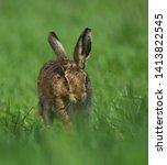 Stock photo european brown hare running towards the camera 1413822545