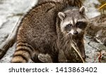 A racoon feeding on shelfish on the shore of stanley park, vancouver, British columbia