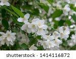 close up of jasmine flowers in... | Shutterstock . vector #1414116872