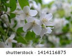 close up of jasmine flowers in... | Shutterstock . vector #1414116875