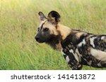 Wild Dog Canine Predator...