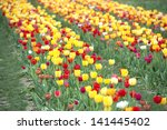 Many of Colorful Tulip Flower in Spring - stock photo