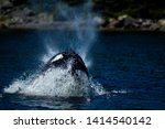 Stock photo a humpback whale breaches near a shoreline to feed off a pool of herring the large black and white 1414540142