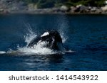 Stock photo a large humpback whale surfaces in the atlantic ocean to feed off herring the black and white 1414543922