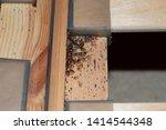 Bedbugs  cimex lectularius  on...