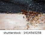 Cimex lectularius or bedbugs...