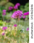 Purple Onion Blossoms In The...