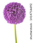 giant onion flower isolated on...