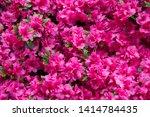 Pink rhododendron flower....