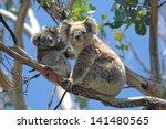 Wild Koalas Along Great Ocean...