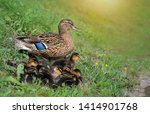 Wild Duck With Ducklings Relax...