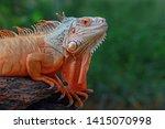 Beautiful Red Iguana On Wood ...