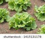 a field growing headed lettuce   Shutterstock . vector #1415131178