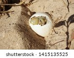 Stock photo africa spurred tortoise are born naturally tortoise hatching from egg cute portrait of baby 1415135525