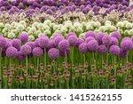 Rows Of Purple And White Alliu...
