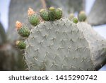 opuntia cactus with blooming... | Shutterstock . vector #1415290742