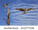 Two Osprey  On A Dead Tree And...