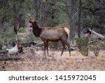 female elk in the forest of... | Shutterstock . vector #1415972045