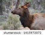 female elk portrait  close up ... | Shutterstock . vector #1415972072