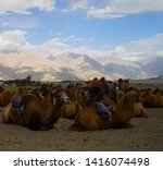 The bactrian camel is a large ...