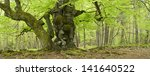 Ancient Gnarled Beech Tree In...