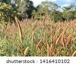 Pennisetum pedicellatum Trin in The Garden,Blur Backkground.