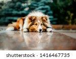 Beautiful Shetland Sheepdog...