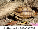 Stock photo  close up baby african spurred tortoise resting in the garden slow life africa spurred tortoise 1416651968